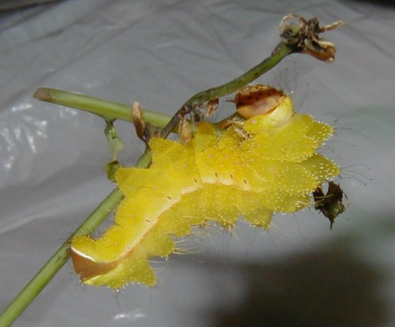 Antheraea pernyi larva.jpg
