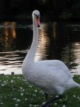 Swans-21-08-05_2_th.jpg