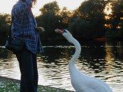 Swans-21-08-05_3_th.jpg